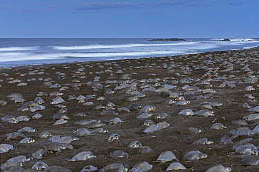 Olive Ridley Sea Turtle (Lepidochelys olivacea) females digging nests during an arribada egg-laying event, Ostional Beach, Costa Rica  -  Ingo Arndt