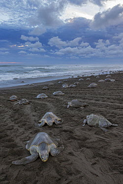 Olive Ridley Sea Turtle (Lepidochelys olivacea) females coming ashore and returning to sea during an arribada nesting event, Ostional Beach, Costa Rica  -  Ingo Arndt