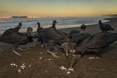 American Black Vulture (Coragyps atratus) group feeding on eggs in Olive Ridley Sea Turtle (Lepidochelys olivacea) nest, Ostional Beach, Costa Rica  -  Ingo Arndt