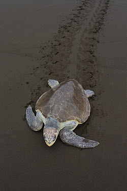 Olive Ridley Sea Turtle (Lepidochelys olivacea) female returning to sea after laying eggs, Ostional Beach, Costa Rica  -  Ingo Arndt