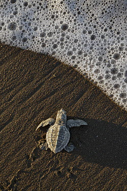 Olive Ridley Sea Turtle (Lepidochelys olivacea) hatchling on its way to the sea after emerging from its egg, Ostional Beach, Costa Rica  -  Ingo Arndt