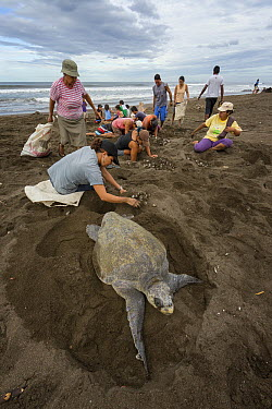 Olive Ridley Sea Turtle (Lepidochelys olivacea) eggs being collected by villagers during the first two days of the arribada nesting event, Ostional Beach, Costa Rica  -  Ingo Arndt