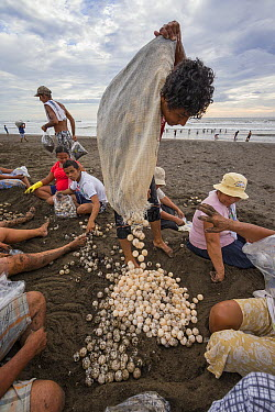 Olive Ridley Sea Turtle (Lepidochelys olivacea) eggs being poured out of collecting bag into a pile after being gathered, Ostional Beach, Costa Rica  -  Ingo Arndt