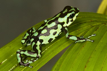 Vicente's Poison Frog (Dendrobates vicentei), native to Panama  -  Roland Seitre