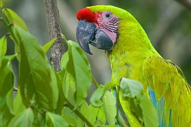 Great Green Macaw (Ara ambigua), La Marina Wildlife Rescue Center, Costa Rica  -  Roland Seitre