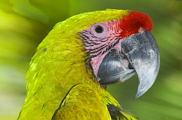 Great Green Macaw (Ara ambigua), native to Central and South America  -  Roland Seitre