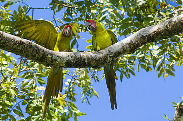 Great Green Macaw (Ara ambigua) pair in tree, native to Central and South America  -  Roland Seitre