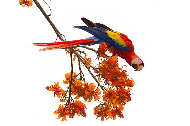 North Central American Scarlet Macaw (Ara macao cyanoptera) feeding on flowers, La Marina Wildlife Rescue Center, Costa Rica  -  Roland Seitre