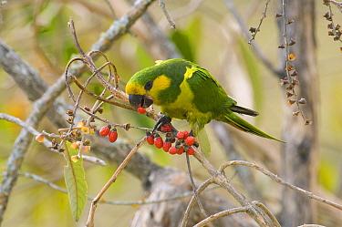 Yellow-eared Parrot (Ognorhynchus icterotis) feeding on berries, Colombia  -  Roland Seitre