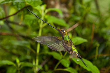 Sword-billed Hummingbird (Ensifera ensifera) flying, Napo, Ecuador  -  Roland Seitre