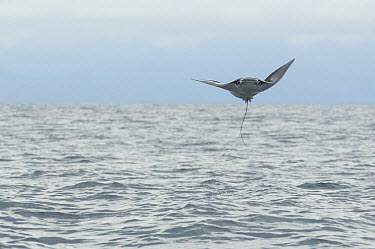 Munk's Devil Ray (Mobula munkiana) leaping out of the water, Costa Rica  -  Roland Seitre