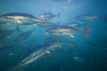 Southern Bluefin Tuna (Thunnus maccoyii) group in aquafarm, Port Lincoln, South Australia, Australia  -  Roland Seitre