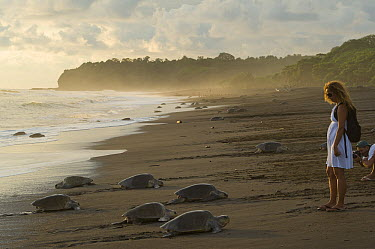 Olive Ridley Sea Turtle (Lepidochelys olivacea) females coming ashore during an arribada nesting event with tourist watching, Ostional Beach, Costa Rica  -  Roland Seitre