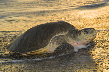 Olive Ridley Sea Turtle (Lepidochelys olivacea) female coming ashore to lay eggs, Ostional Beach, Costa Rica  -  Roland Seitre