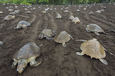 Olive Ridley Sea Turtle (Lepidochelys olivacea) females coming ashore and returning to sea during an arribada nesting event, Ostional Beach, Costa Rica  -  Roland Seitre