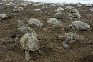 Olive Ridley Sea Turtle (Lepidochelys olivacea) females nesting during arribada event, Ostional Beach, Costa Rica  -  Roland Seitre