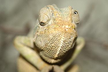 Mediterranean Chameleon (Chamaeleo chamaeleon) showing independently moving eyes, native to Europe  -  Roland Seitre