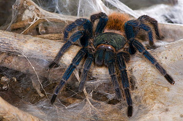 Greenbottle Blue Tarantula (Chromatopelma cyaneopubescens) on web, native to Venezuela  -  Roland Seitre
