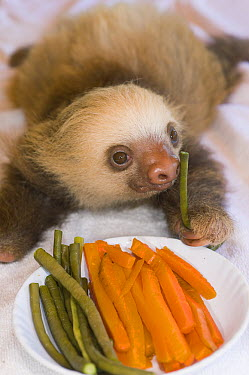 Hoffmann's Two-toed Sloth (Choloepus hoffmanni) orphan feeding on vegetables, Aviarios Sloth Sanctuary, Costa Rica  -  Roland Seitre