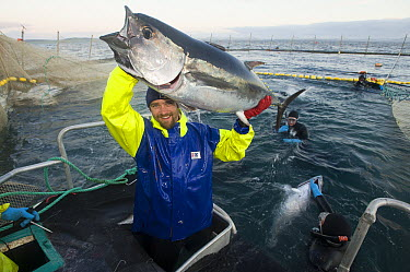 Southern Bluefin Tuna (Thunnus maccoyii) pair being harvested from aquafarm, Port Lincoln, South Australia, Australia  -  Roland Seitre