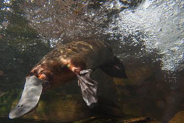 Platypus (Ornithorhynchus anatinus) swimming, Australian Reptile Park, New South Wales, Australia  -  Roland Seitre