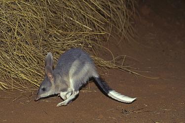 Bilby (Macrotis lagotis) jumping, native to Australia  -  Roland Seitre