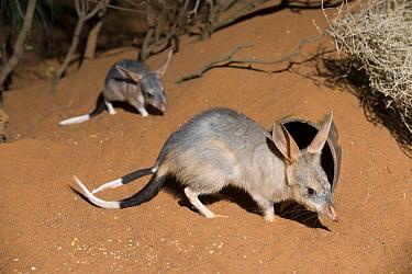 Bilby (Macrotis lagotis) pair, native to Australia  -  Roland Seitre