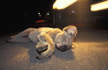 Koala (Phascolarctos cinereus) roadkill, Australia  -  Roland Seitre