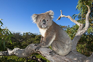 Koala (Phascolarctos cinereus) in tree, Port Lincoln, South Australia, Australia  -  Roland Seitre