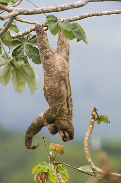 Brown-throated Three-toed Sloth (Bradypus variegatus) hanging from branch, Panama City, Panama  -  Roland Seitre