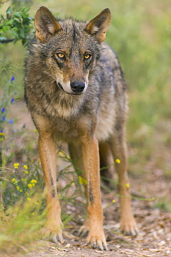 Iberian Wolf (Canis lupus signatus), native to Europe  -  Roland Seitre