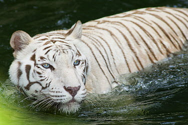 Bengal Tiger (Panthera tigris tigris) white morph in water, Novosibirsk Zoo, Russia  -  Roland Seitre