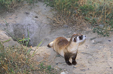 Black-footed Ferret (Mustela nigripes) near burrow, native to North America  -  Roland Seitre