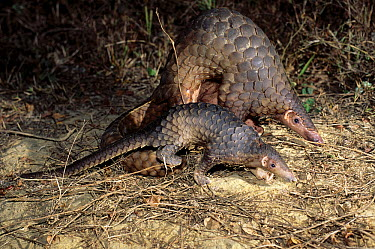 Malayan Pangolin (Manis javanica) mother and young, southeast Asia  -  Roland Seitre