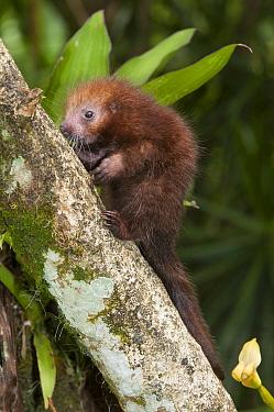 Rothschild's Porcupine (Coendou rothschildi) juvenile, La Marina Wildlife Rescue Center, Costa Rica  -  Roland Seitre