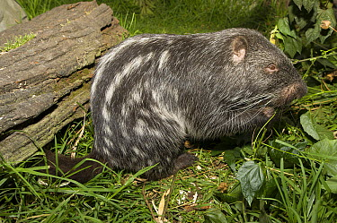 Branick's Giant Rat (Dinomys branickii) feeding on vegetation, native to South America  -  Roland Seitre