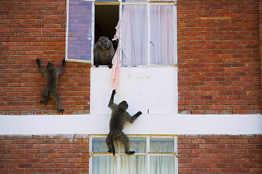 Chacma Baboon (Papio ursinus) group playing with curtains from building, South Africa  -  Cyril Ruoso