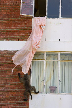 Chacma Baboon (Papio ursinus) playing with curtains from building, South Africa  -  Cyril Ruoso