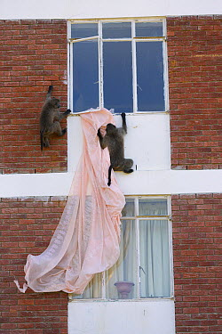 Chacma Baboon (Papio ursinus) pair playing with curtains from building, South Africa  -  Cyril Ruoso