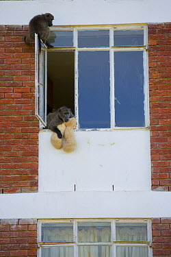 Chacma Baboon (Papio ursinus) playing with teddy bear toy in building, South Africa  -  Cyril Ruoso