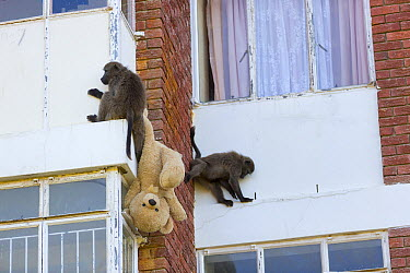 Chacma Baboon (Papio ursinus) pair playing with stolen teddy bear toy on building, South Africa  -  Cyril Ruoso
