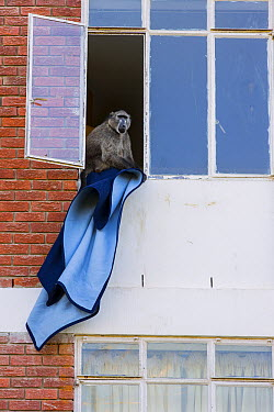 Chacma Baboon (Papio ursinus) stealing blanket from apartment building, South Africa  -  Cyril Ruoso