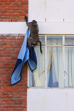 Chacma Baboon (Papio ursinus) stealing blanket from apartment buildling, South Africa  -  Cyril Ruoso