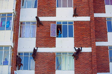 Chacma Baboon (Papio ursinus) group climbing apartment building with person trying to scare them off, South Africa  -  Cyril Ruoso