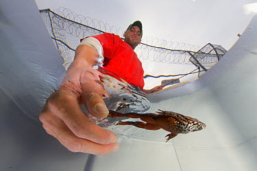 Oregon Spotted Frog (Rana pretiosa) being released into temporary tank by inmate who has raised the frog as part of sustainability in prison program, Cedar Creek Corrections Center, Washington  -  Cyril Ruoso