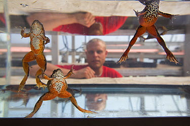 Oregon Spotted Frog (Rana pretiosa) trio watched by inmate as part of sustainability in prison program, Cedar Creek Corrections Center, Washington  -  Cyril Ruoso