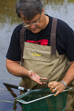 Oregon Spotted Frog (Rana pretiosa) biologist Mark Hayes checking on released frogs that were raised by inmates as part of sustainability in prison program, Washington  -  Cyril Ruoso