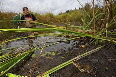 Oregon Spotted Frog (Rana pretiosa) near biologist Mark Hayes who is checking on released frogs that were raised by inmates as part of sustainability in prison program, Washington  -  Cyril Ruoso