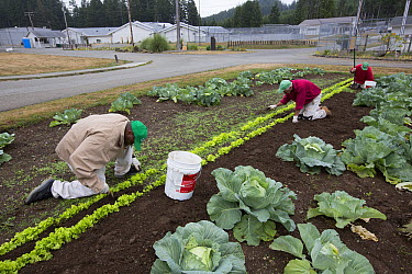 Cabbage (Brassica oleracea) plants in organic garden tended to by inmates as part of sustainability in prison program, Cedar Creek Corrections Center, Washington  -  Cyril Ruoso