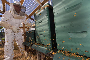 Honey Bee (Apis mellifera) hives being tended to by inmate beekeeper as part of sustainability in prison program, Stafford Creek Corrections Center, Washington  -  Cyril Ruoso
